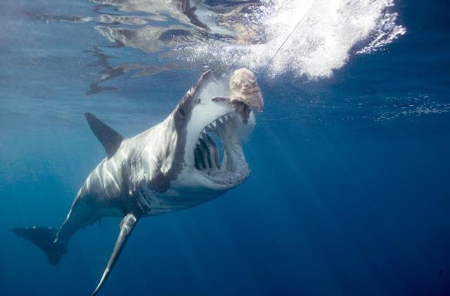 Great white shark attacking bait