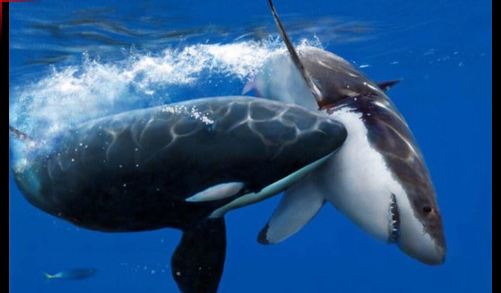 killer whale vs geat white shark in a fight