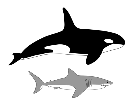 comparison in size of killer whale and great white shark