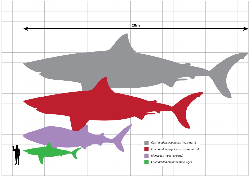 size of megalodon