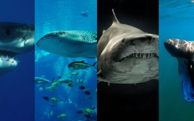 A Look At Shark Species
