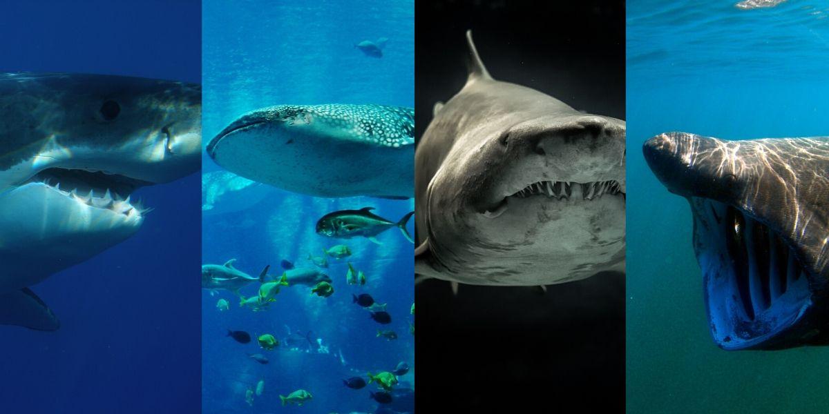 A Look At Shark Species