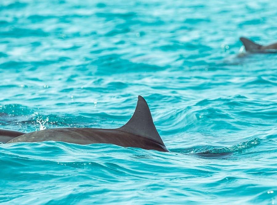 dolphin that looks like a shark fin
