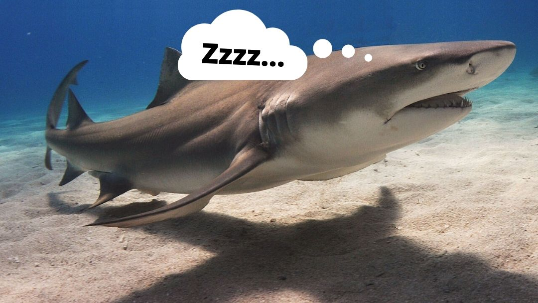 Do sharks Sleep?