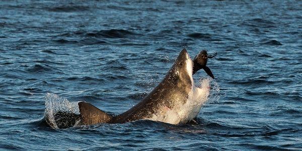 seal being eaten by a shark