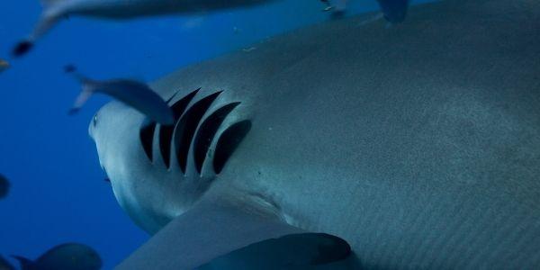 HOW DO SHARKS BREATHE